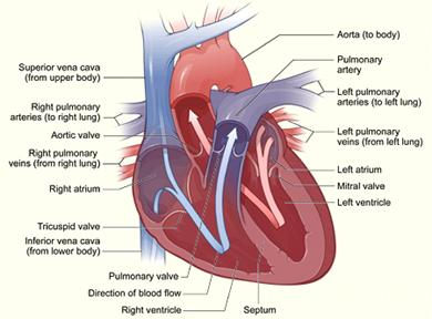 pulmonary trunk - klejonka, Human Body